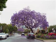 ロスはジャカランダ(紫雲木)の季節