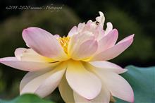 真夏の深大寺と蓮と蘭