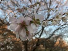 四季桜情報