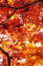 紅葉の見納めは、リーズナブルにご近所の楓にて♪