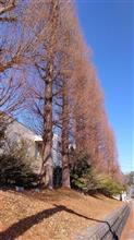 津市メタセコイア並木