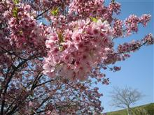 桜咲いてるかな?