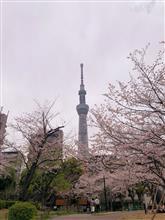 隅田桜散策