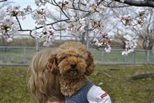 2021年春、桜をバックに愛犬ビート!(笑)