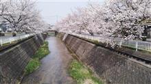 今年もきれいな桜並木ッス。