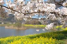 桜2021 PART2 上堰潟公園&ビッグスワン!