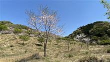 我らが桜を見に行ってきました。