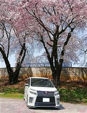 桜×VOXY Part3