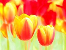 🌷春の花園巡り No.1 『風車&チューリップ編』🌷