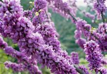 Muro Takidani iris garden