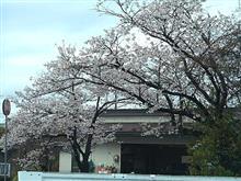 雨上がりの桜。。。