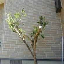 夏みかんの木