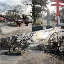 今年の桜の振り返り🌸♫ 〜 いつもの神社の違うところから✨