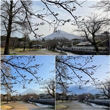 今年の桜の振り返り🌸♫ 〜 例年通りの桜と富士山定点観測🌸🗻👀