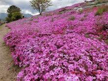 伊予西条の芝桜🌸 2021年4月