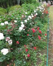 別所沼公園の薔薇♪