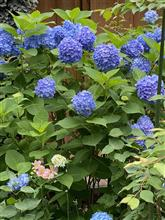 紫陽花の季節ですが、、、😸