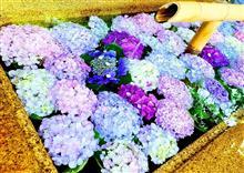 紫陽花一色✨な、鎌倉でした。