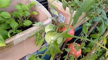 梅雨明けしましたね。トマトを収穫しました。