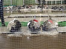 銚子 イワシの水揚げと魚市場