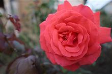 真っ赤な薔薇を貴方に♪