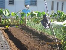 ソラマメと玉葱植え付け