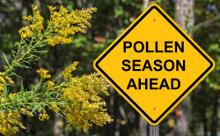 杉の枝と花とpolllen season aheadの黄色い看板画像
