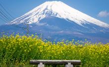 晴天の下富士山と菜の花畑の画像