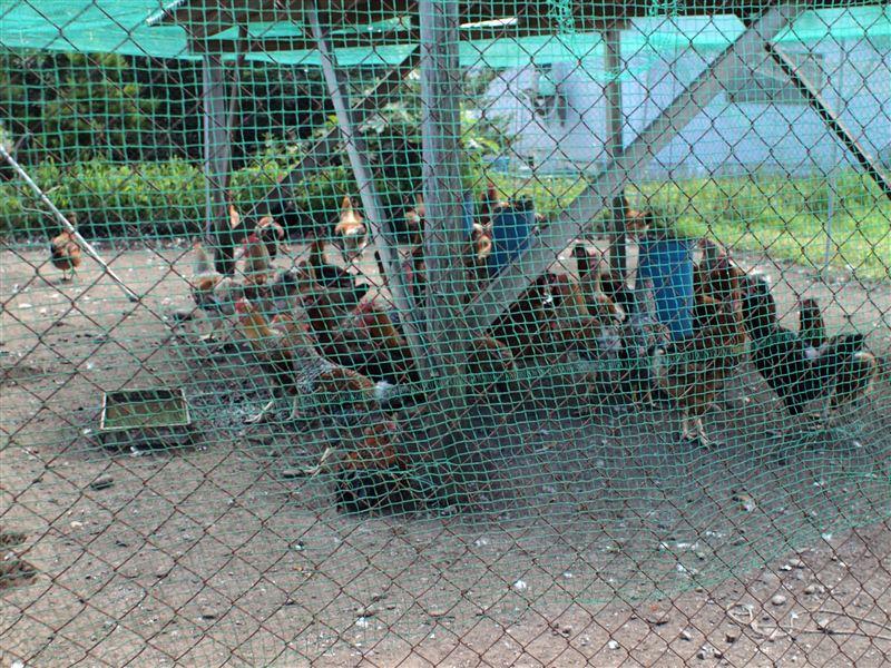 川南の地頭鶏養鶏場