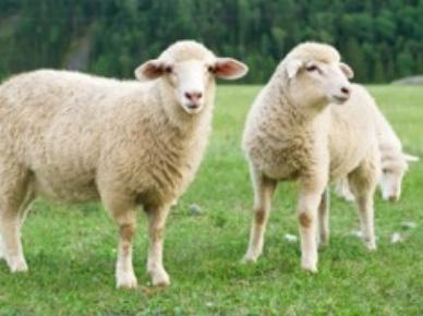 羊の毛o(´^`)o メー