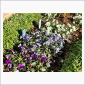 家で私が育てているビオラ☺️<br /> 寒さに強く、先月植えてからずーっと花が咲いてます🌼<br /> <br /> 今年も皆さまにコメントを頂いたり、大変お世話になりました。<br /> <br /> そして、一日も早くコロナが終息しますように。<br /> <br /> どうぞ、良いお年をお迎えください☘️<br />