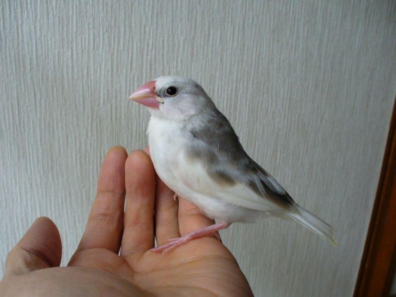 """我が家に家族が増えました!<br /> 手乗り白文鳥の子供です。<br /> 餌をほしがってピーピー鳴くので""""ぴーちゃん""""という名前になりました。"""