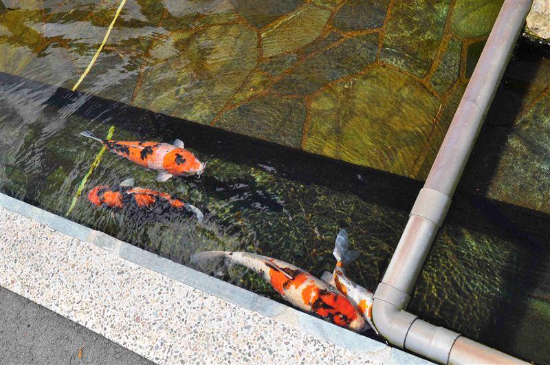 駐車場のすぐ脇に鯉が!<br /> <br /> 動くものは撮るの難しい^^;