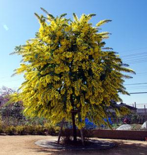 ミモザ の 木 【ミモザ】庭に春を呼ぶ!育てやすい種類と挿し木・タネ播き・育て方