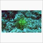 ウミシダ<br /> <br /> 植物にしか見えないが、なんとこれ、動物。<br /> 放っておくとほにゃーほにゃーとわずかずつ移動していく。<br /> やはり海は謎が多い・・・。<br /> こいつにひっついて成長するウミシダカクレエビというのもいる。<br /> <br /> 動画<br /> 【宮古島 ウミシダとウミシダカクレエビ 2013年08月16日111124 WG 3 - YouTube<br /> http://www.youtube.com/watch?v=GiOcKt6ruc0】