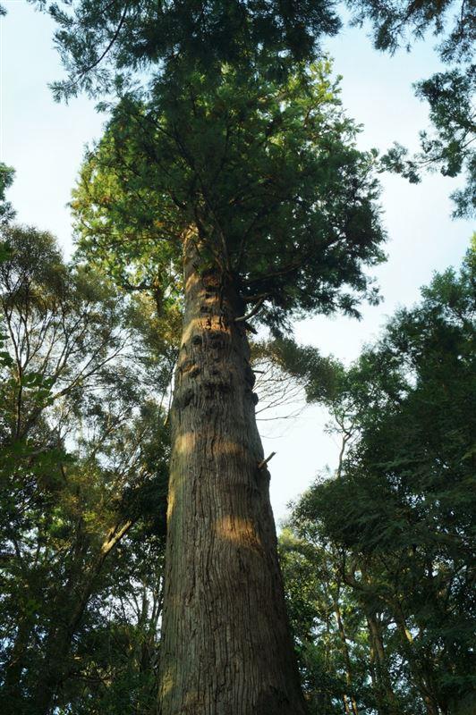 ご神木の杉です。おっきかった!