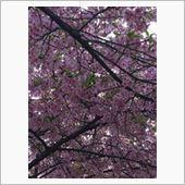 150322 河津桜と「便利ィ344号」