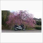 GSR250S君と桜