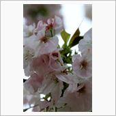 大阪造幣局 桜の通り抜け♪