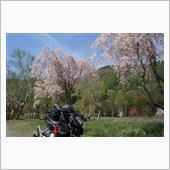 信州、5月の桜