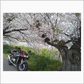 近所の桜堤(*^▽^*)