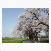 20180329 近所の桜(柳瀬川沿い)