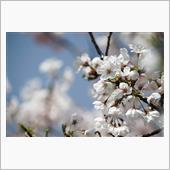 2018-03-31 桜とフレクロ