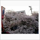 愛知県岩倉市「岩倉桜まつり」