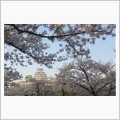 姫路城の桜見てきた