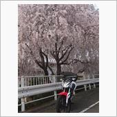 早目の櫻花