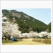 山の中の~桜並木
