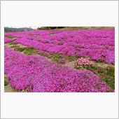 ご近所さんの芝桜・藤の花・・・?。