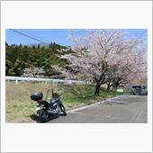 桜舞い散る南川ダム