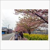 2018.3.7 三浦半島の桜
